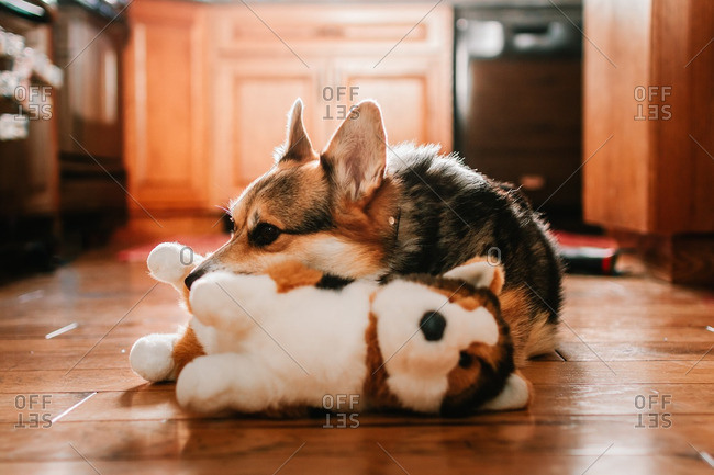 Corgi puppy snuggling with a toy on a kitchen floor