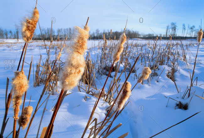 Bulrushes In Snowy Field