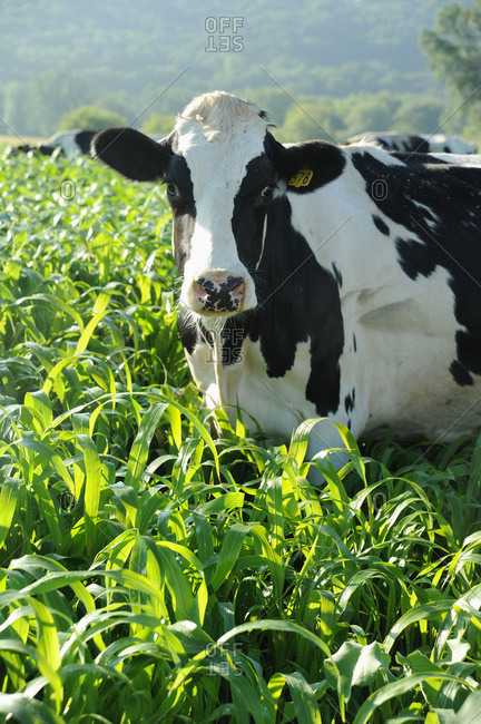 Holsteins in sorghum field; Wisconsin, United States of America