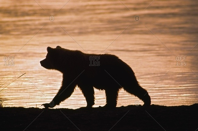Young Grizzly Bear (Ursus Arctos) Walks Along Edge Of Lake At Sunset