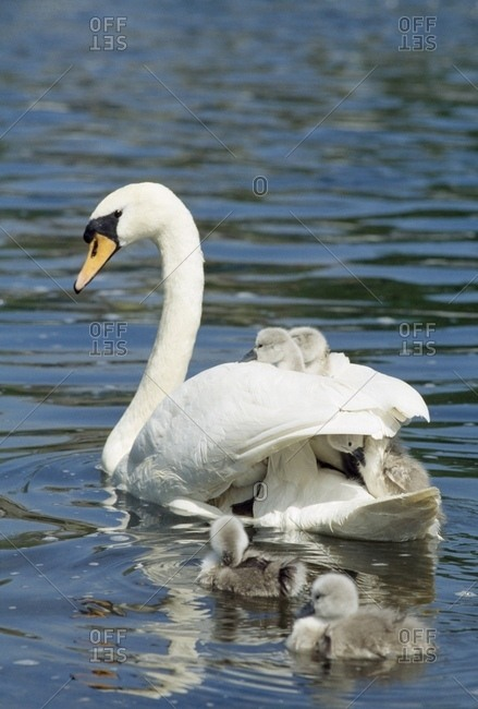 Swan And Cygnets; Clonmel, Co Tipperary, Ireland