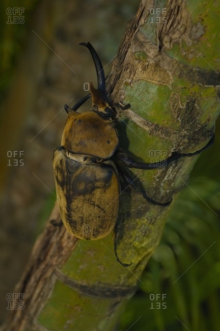 Elephant Beetle (Megasoma Elephas) On A Bamboo Tree