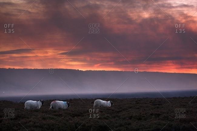 North Yorkshire, England; Sheep Grazing