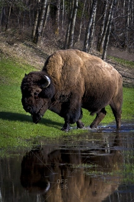 Buffalo By River Bank