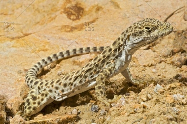 Long-Nosed Leopard Lizard (Gambelia Wislizenii
