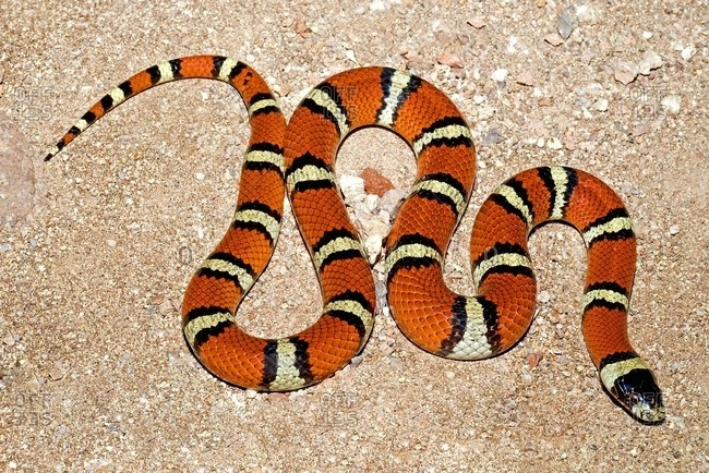 A New Mexican Milk Snake