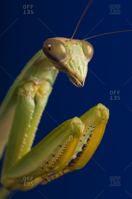 Close-up Of Praying Mantis