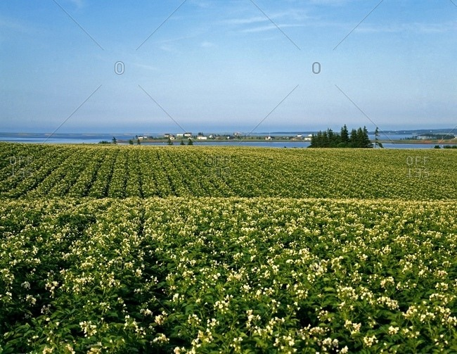 Potato Field, Prince Edward Island, Canada