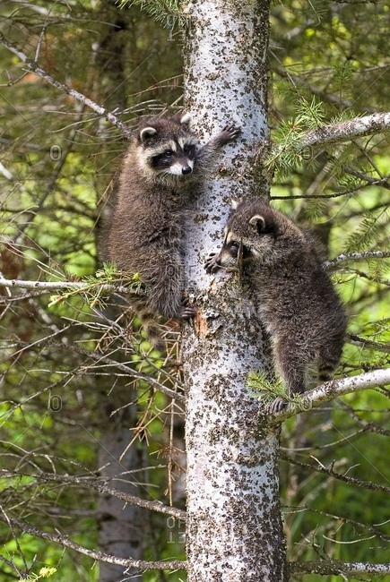 Baby Raccoons In Tree - Offset