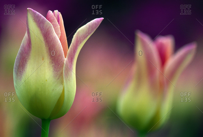 Two Magenta Tulips Opening
