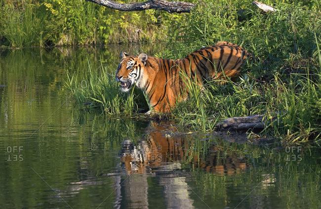 Tiger At A River Bank