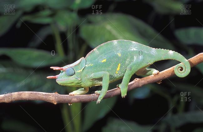 Usumbara Three-Horned Chameleon