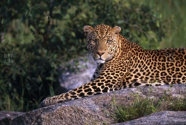 Leopard Laying On Kopje, Serengeti National Park