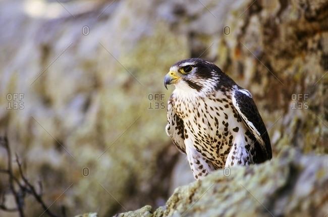 Prairie Falcon On Rock Ledge