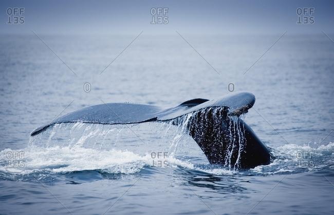 Whale's Fluke