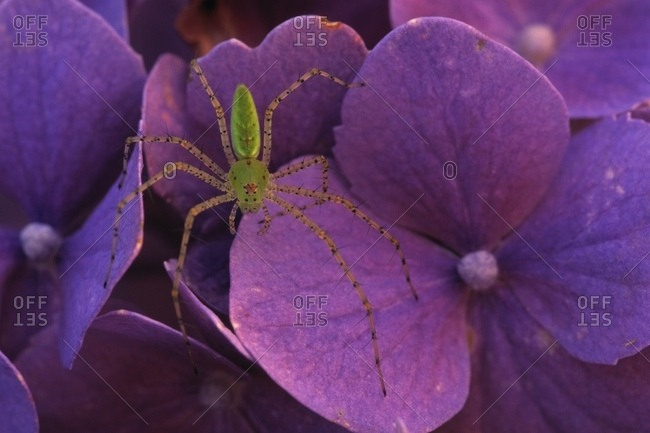 Close Up Of Male Green Lynx Spider Resting On A Purple Flower