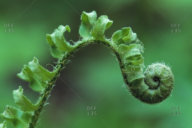 Close Up Of A Fiddle Head Of A Christmas Fern