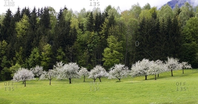 Apple Trees In Bloom, Germany