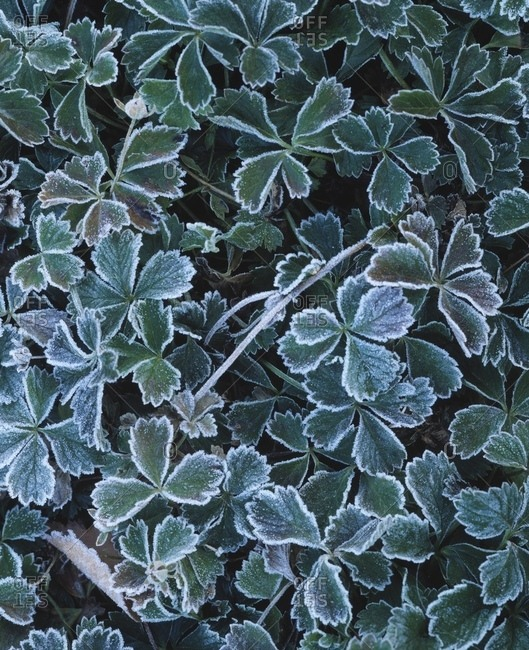 Frost On Leaves - Offset Collection