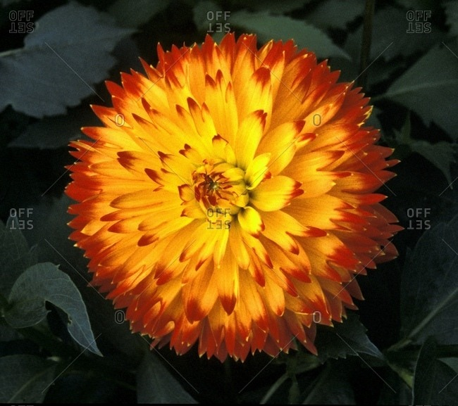 A Chrysanthemum Bloom