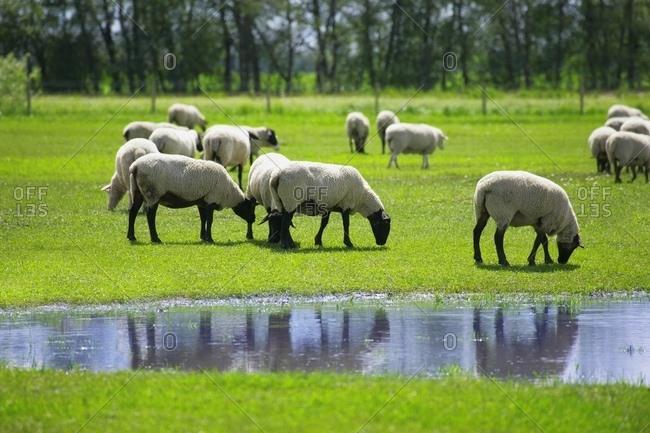 Flock Of Grazing Sheep