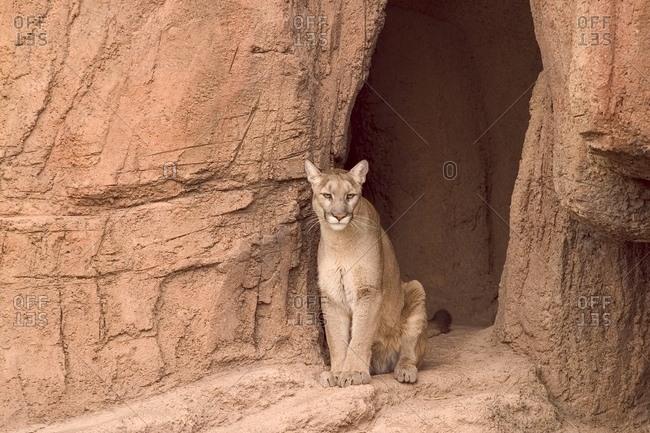 A Puma