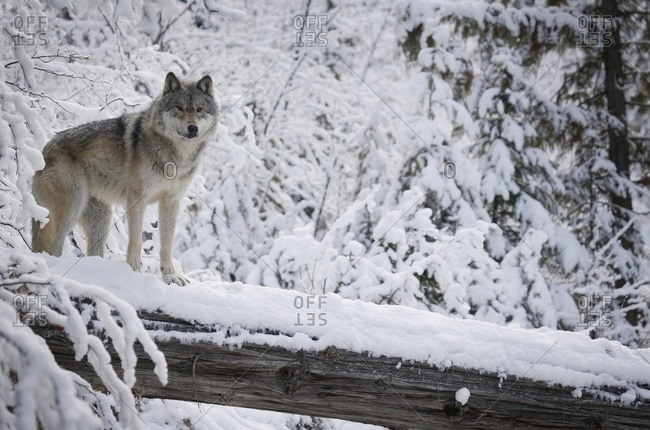 Wolf photo from the Offset Collection