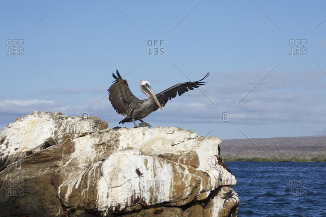 Pelican landing on rock promontory of islet in Galapagos