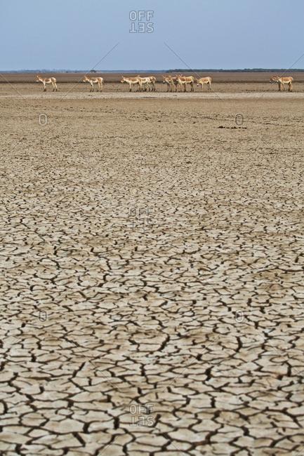 Herd of Khur, Indian wild ass in desert landscape of Indian wildlife sanctuary