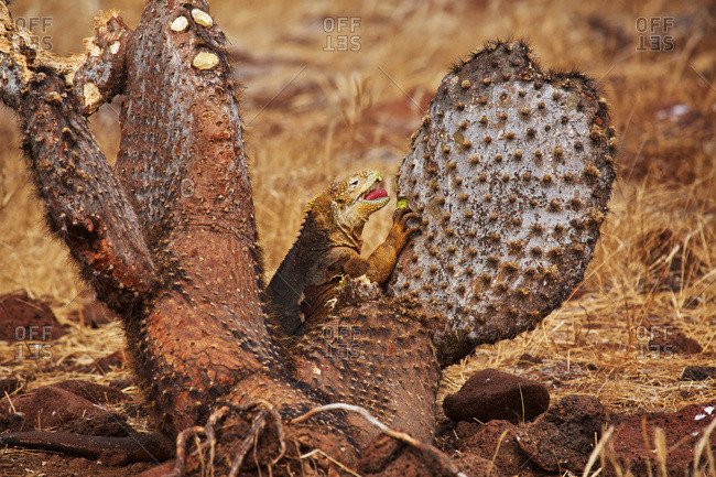 Land iguana eating a cactus on North Seymour Island, Galapagos