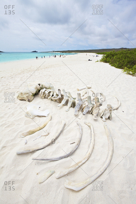 White sand beach with turquoise water and bleached skeleton of a humpback whale