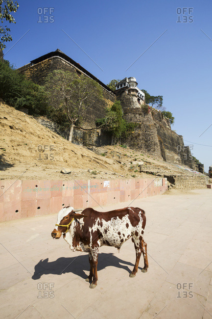 Ahilya Fort, ghats and cow on the Namada river bank