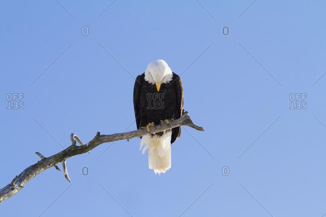 Adult Bald eagle (Haliaeetus leucocephalus) perched on branch in South-central Alaska; Alaska, United States of America
