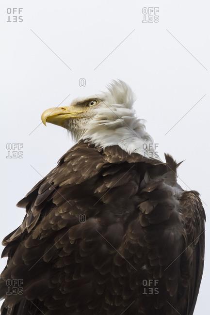 Close up of an adult Bald eagle (Haliaeetus leucocephalus), Portage Valley, South-central Alaska; Alaska, United States of America