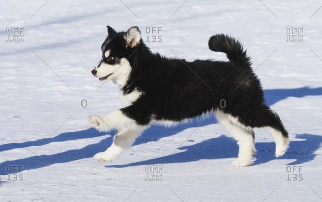 Alaska Husky puppy, South-central Alaska; Alaska, United States of America