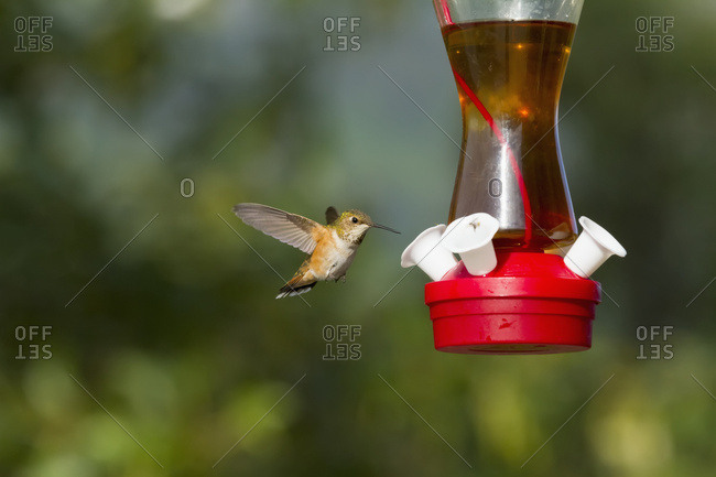 A Rufous hummingbird (Selasphorus rufus) approaches a feeder in the summertime, South-central Alaska; Alaska, United States of America