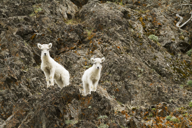Dall sheep (ovis dalli) lambs in Chugach Mountains near the Seward Highway in the Windy Point area Mile 107 Seward Highway, South-central Alaska; Alaska, United States of America