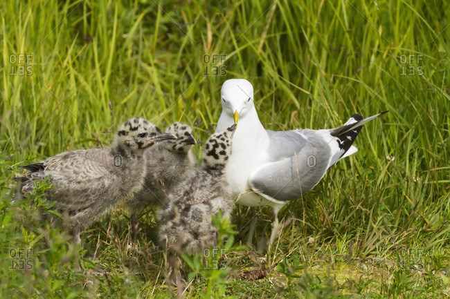 An adult Mew gull (Larus canus) feeds her three impatient and hungry chicks at Potter Marsh refuge, South-central Alaska; Alaska, United States of America