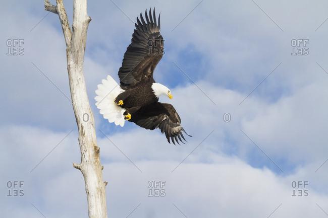Bald eagle (Haliaeetus leucocephalus) in flight, South-central Alaska; Alaska, United States of America