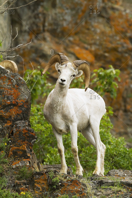 Dall sheep (ovis dalli) ram in Chugach Mountains near the Seward Highway in the Windy Point area Mile 107 Seward Highway, South-central Alaska; Alaska, United States of America