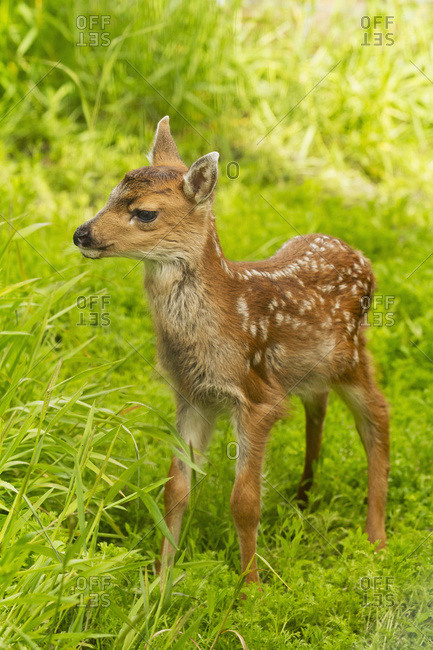 Captive Black-tailed deer (Odocoileus hemionus) fawn at the Alaska Wildlife Conservation Center in summertime; Portage, Alaska, United States of America