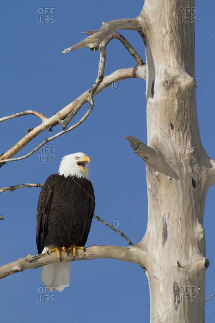 Bald eagle (Haliaeetus leucocephalus) perched on tree, South-central Alaska; Alaska, United States of America