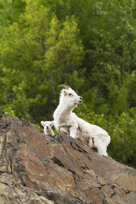 Dall sheep (ovis dalli) ewe and lamb, Chugach Mountains near the Seward Highway in the Windy Point area Mile 107, South-central Alaska; Alaska, United States of America