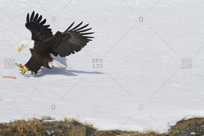 Bald eagle (Haliaeetus leucocephalus) landing in snow, South-central Alaska; Alaska, United States of America