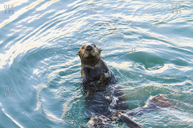 Sea Otter (Enhydra lutris) floating on back in Whittier small boat harbor, South-central Alaska; Alaska, United States of America