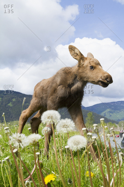 Young moose (alces alces) in grass at the Alaska Wildlife Conservation Center in summertime; Portage, Alaska, United States of America