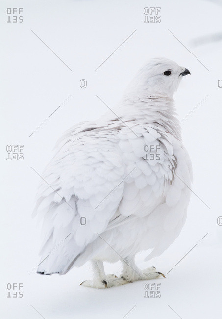 Willow ptarmigan (Lagopus lagopus) in winter white just while fluffing feathers, State bird for Alaska, Arctic Valley in South-central Alaska; Alaska, United States of America