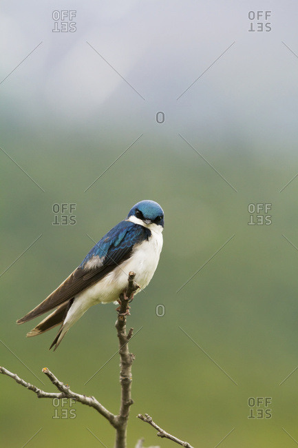 Adult Tree Swallow (Tachycineta bicolor) perches on a small limb at Potter Marsh in South-central Alaska; Anchorage, Alaska, United States of America