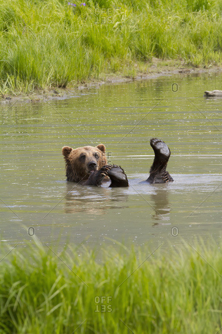 Captive brown bear (ursus arctos) playing in pond at Alaska Wildlife Conservation Center in summertime; Portage, Alaska, United States of America