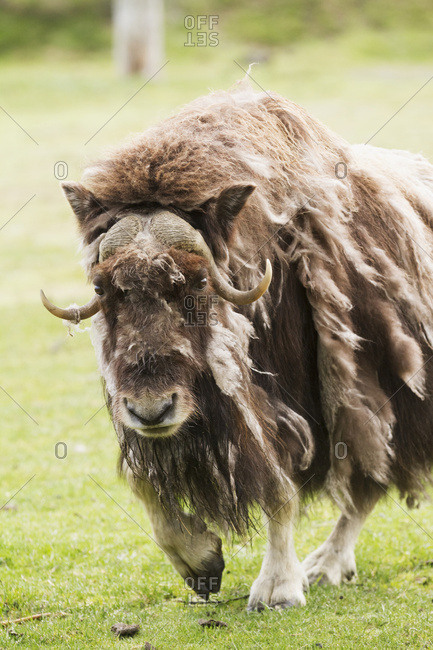 Captive Muskox (Ovibos moschatus) cow walks shedding her qiviut (coat) at the Alaska Wildlife Conservation Center; Portage, Alaska, United States of America